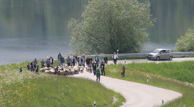 Montée à l'alpage avec le seul troupeau de moutons de La Vallée